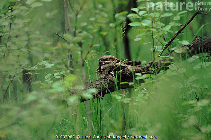 Nightjar in tree, Austria  ,  TREE,AUSTRIA,BIRDS,HORIZONTAL,EUROPE,HK,PERCHING,WOODLANDS  ,  Hans Christoph Kappel