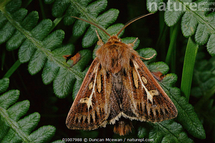 Antler Moth resting on bracken. Summer, UK  ,  EUROPE,FROND,FERNS,LEAF,INSECTS,SUMMER,BRACKEN,DMC,HORIZONTAL,SCOTLAND,UK,UNITED KINGDOM,PLANTS,INVERTEBRATES,BRITISH,LEPIDOPTERA  ,  Duncan Mcewan