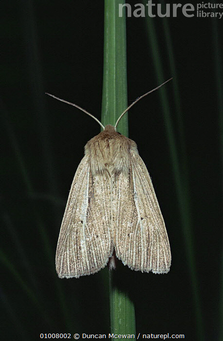 Common wainscot moth (Mythimna pallens) Scotland, UK  ,  , EUROPE, INSECTS, INVERTEBRATES, LEPIDOPTERA, MOTHS, NIGHT, NOCTUID-MOTHS, SCOTLAND, UK, VERTICAL,United Kingdom  ,  Duncan Mcewan