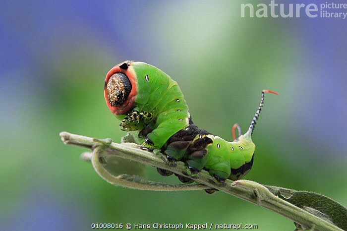 Caterpillar moth of Puss Moth (Cerura vinula) feeding, Germany  ,  BEHAVIOUR,CRYPTIC,DEFENSIVE,EUROPE,GERMANY,GREEN,INSECTS,INVERTEBRATES,LARVAE,LEPIDOPTERA,MOTHS,NOCTUID MOTHS  ,  Hans Christoph Kappel