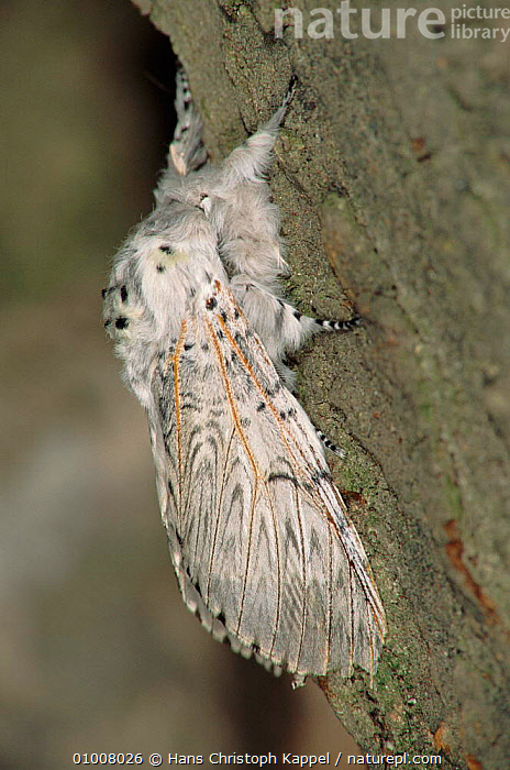 Puss Moth adult insect on bark of tree, Germany, WHITE,VERTICAL,EUROPE,INSECTS,GERMANY,HK,BARK,TREE,PLANTS,INVERTEBRATES,LEPIDOPTERA, Hans Christoph Kappel