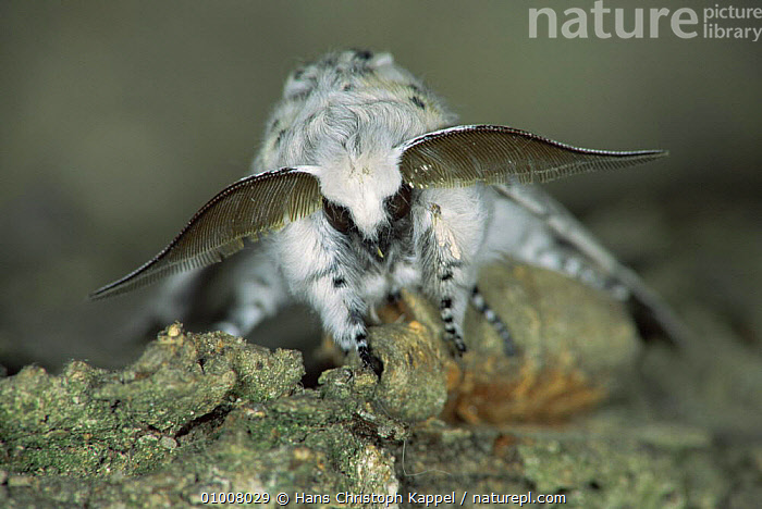 Puss Moth (Cerura vinula) on tree bark, male with large antennae, Germany  ,  EUROPE,GERMANY,INSECTS,INVERTEBRATES,LEPIDOPTERA,MALES,MOTHS,NOCTUID MOTHS,PORTRAITS  ,  Hans Christoph Kappel