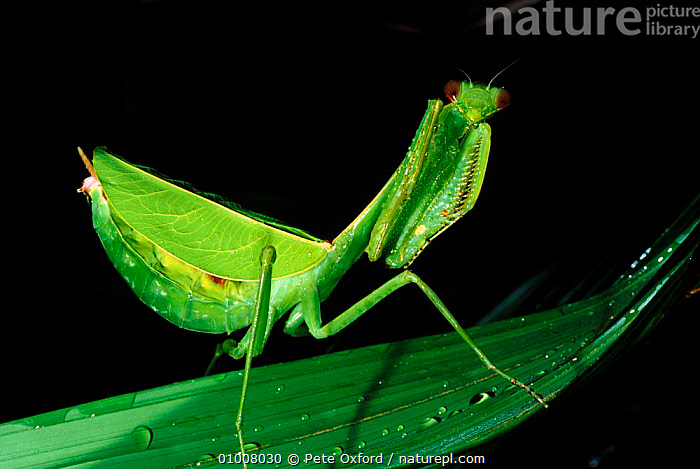 Praying mantis, Amazon rainforest, Ecuador., AMAZON,ECUADOR,GREEN,INSECTS,INVERTEBRATES,PO,PORTRAITS,RAINFOREST,SOUTH AMERICA,TROPICAL RAINFOREST,Mantodea, Pete Oxford