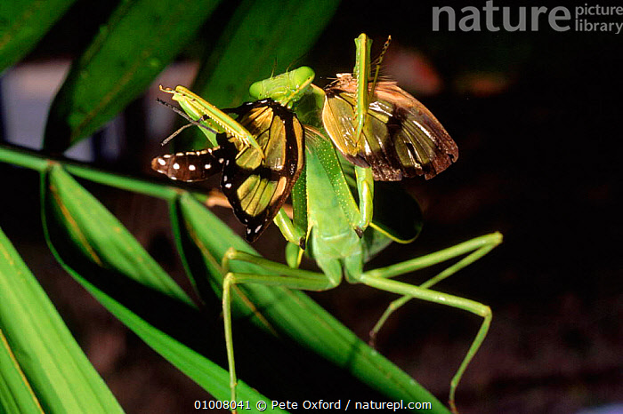 Praying mantis eating butterfly, Amazon rainforest, Ecuador.  ,  AMAZON,BEHAVIOUR,BUTTERFLY,ECUADOR,FEEDING,INSECTS,INVERTEBRATES,PO,PREDATION,SOUTH AMERICA,TROPICAL RAINFOREST,Mantodea  ,  Pete Oxford