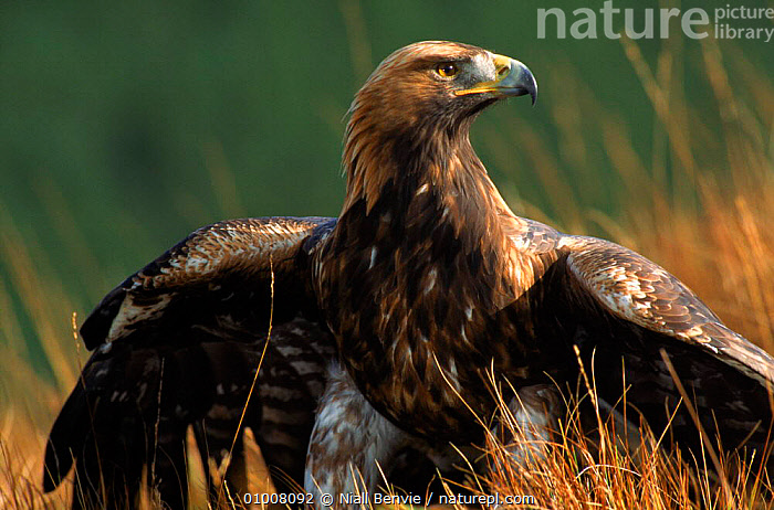 Golden eagle, 4th year male, Scotland. Captive bird.  ,  SCOTLAND,BIRDS,DRAMATIC,NB,UK,,C,HORIZONTAL,PORTRAITS,EUROPE,MALE ,BIRDS OF PREY,UNITED KINGDOM,BRITISH,EAGLES,RAPTOR, United Kingdom, United Kingdom, United Kingdom, United Kingdom,Catalogue1  ,  Niall Benvie