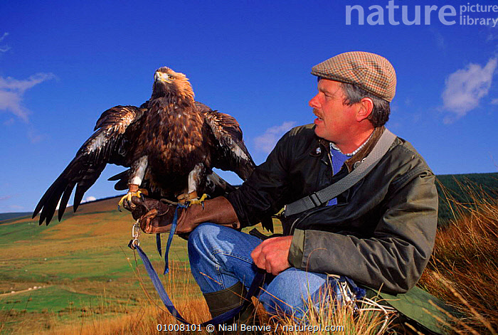 Golden eagle (Aquila chrysaetos) with falconer. Borders, Scotland, UK, Europe, FALCONER,FALCONERY,BORDERS,RAPTOR,UK,HORIZONTAL,HUNTING SPORT,PEOPLE,,EUROPE,PORTRAITS,SCOTLAND,BIRDS,CAPTIVE ,BIRDS OF PREY,UNITED KINGDOM,BRITISH,EAGLES, Niall Benvie
