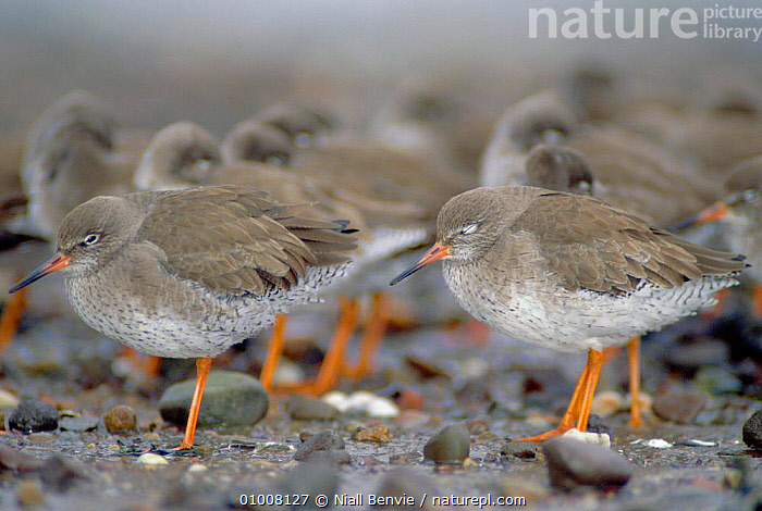 Redshanks (Tringa totanus) flocking to reduce heat loss, Angus, Scotland  ,  BEHAVIOUR,BIRDS,NB,ROOSTING,SCOTLAND,SOCIAL,SOCIAL BEHAVIOUR, ,WADING BIRDS,EUROPE,Catalogue1,UK,United Kingdom  ,  Niall Benvie