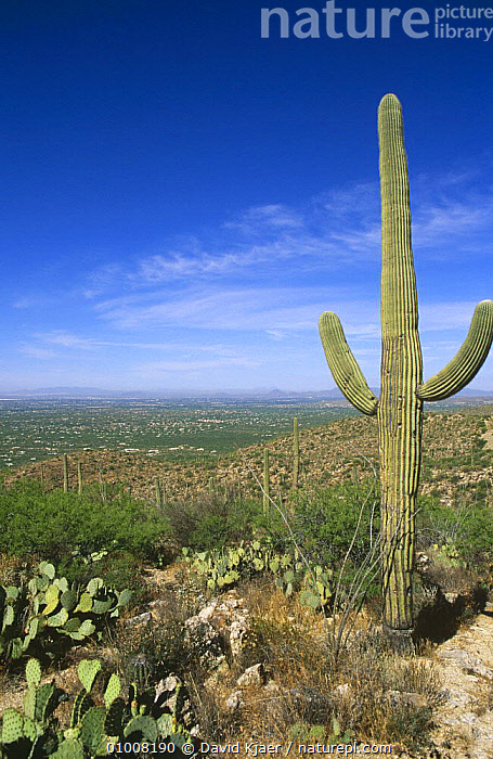 Saguaro Cactus and view over Tucson from Catalina Mountains, Arizona USA, CACTACEAE,CACTI,CACTUS,DESERTS,DICOTYLEDONS,LANDSCAPES,MOUNTAINS,PLANTS,PORTRAITS,USA,VERTICAL,North America, David Kjaer
