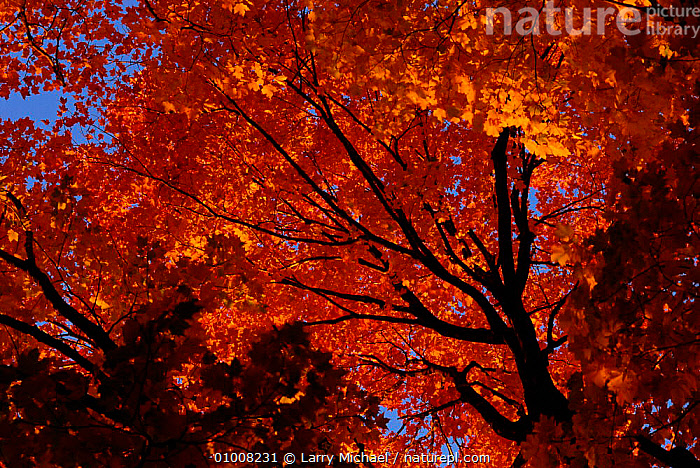 Sugar maple (Acer saccharum) in autumn. Michigan, USA, BROADLEAF,AUTUMN,HORIZONTAL,ORANGE,YELLOW,ARTY SHOTS,MICHIGAN,VERTICAL,USA,NORTH AMERICA, Larry Michael