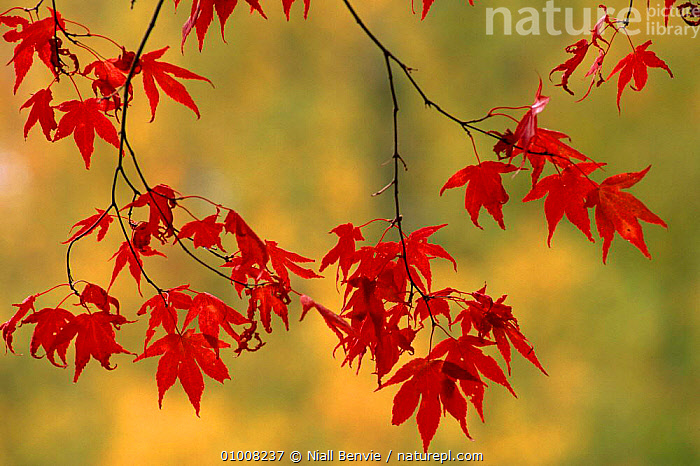 Smooth Japanese Maple leaves (Acer palmatum), ABSTRACT,ARTY SHOTS,AUTUMN,EUROPE,LEAVES,NATURE,NB,PLANTS,RED,SCOTLAND,TREES, Niall Benvie