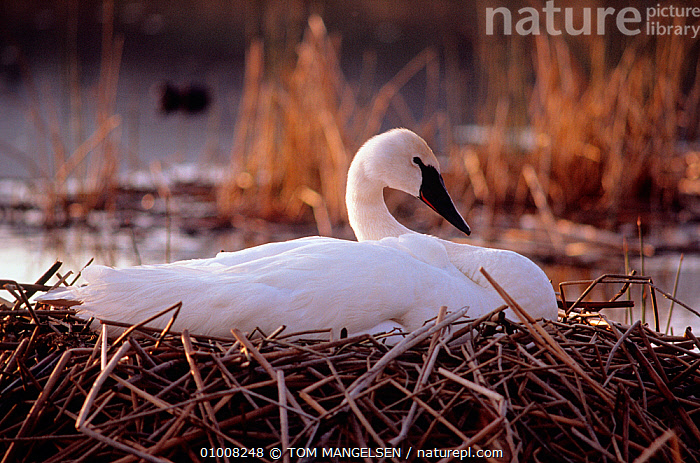 Trumpeter Swan (Cygnus buccinator) on nest, Yellowstone NP, Wyoming, USA  ,  , Anatidae, BIRDS, LAKES, NESTS, NP, SWANS, USA, VERTEBRATES, WATERFOWL, WHITE,National Park,North America,Wildfowl  ,  TOM MANGELSEN