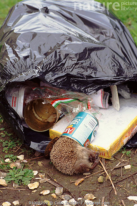 Dead hedgehog trapped in tin can, England, UK  ,  DEATH,CAN,EUROPE,TIN,TRAPPED,DEAD,MAMMALS,VERTICAL,HORRIFIC,ENGLAND,UK,INSECTIVORES,CD,REFUSE,UNITED KINGDOM,BRITISH  ,  Colin Seddon