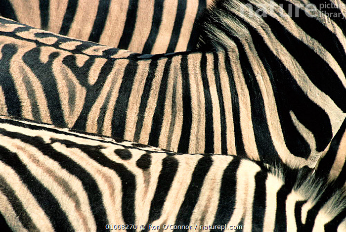Abstract view of Common Zebra skin patterns  (Equus quagga) Etosha NP, Namibia, ABSTRACT,ARTY SHOTS,CLOSE UPS,GROUPS,MAMMALS,NP,PATTERNS,PERISSODACTYLA,SKIN,SOUTHERN AFRICA,VERTEBRATES,ZEBRAS,National Park,Equines, Ron O'Connor