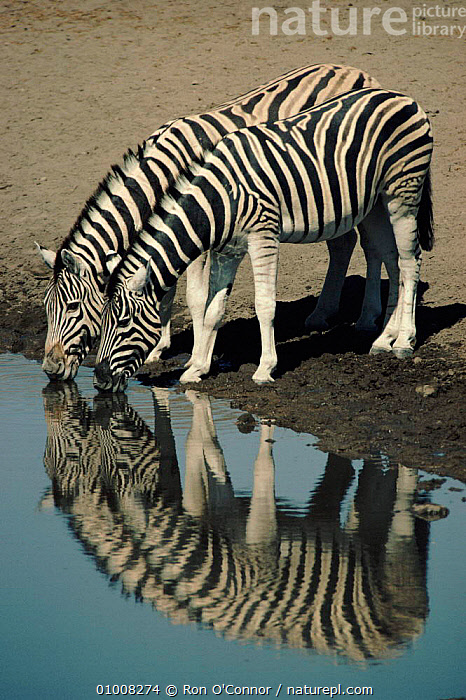 Common Zebra at waterhole, Namibia, Etosha NP, FRIENDSHIP,VERTICAL,SOUTHERN AFRICA,REFLECTIONS,NP,AFRICA,DRINKING,MAMMALS,RO,ETOSHA,NAMIBIA,TWO,WATERHOLE,CONCEPTS,NATIONAL PARK,EQUINES, Ron O'Connor