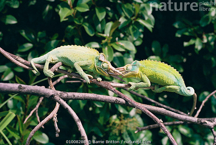 Jackson's Chameleons fighting (Chamaeleo jacksonii) they lock horns and attempt to throw one another off the branch. Occur in Kenya and Tanzania, tropical forest habitat., AFRICA, AGGRESSION, CHAMELEONS, DOMINANCE, FIGHTING, GREEN, LIZARDS, MALES, REPTILES, VERTEBRATES, Barrie Britton