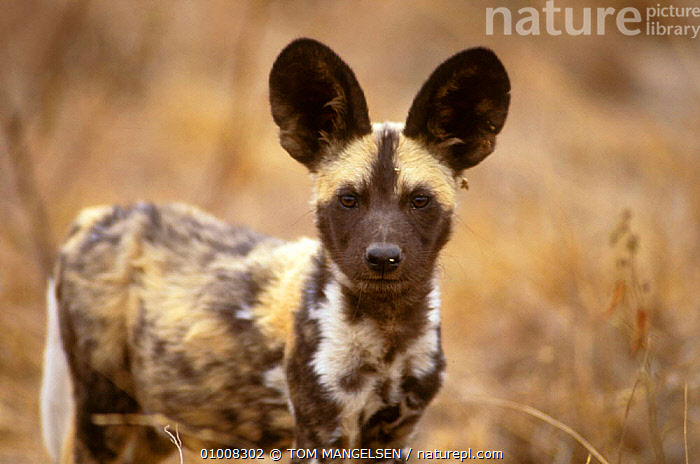 Wild Dog portrait (Lycaon pictus) Mala Mala, South Africa  ,  HUNTING,DOGS,DOGS,MAMMALS,PORTRAITS,SOUTHERN AFRICA,CANIDS  ,  TOM MANGELSEN