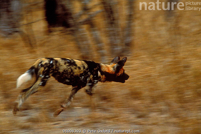 Wild Dog runing (Lycaon pictus) Mala Mala South Africa  ,  SOUTHERN AFRICA,RUNNING,MAMMALS,DOGS,HUNTING,DOGS,CANIDS  ,  Pete Oxford