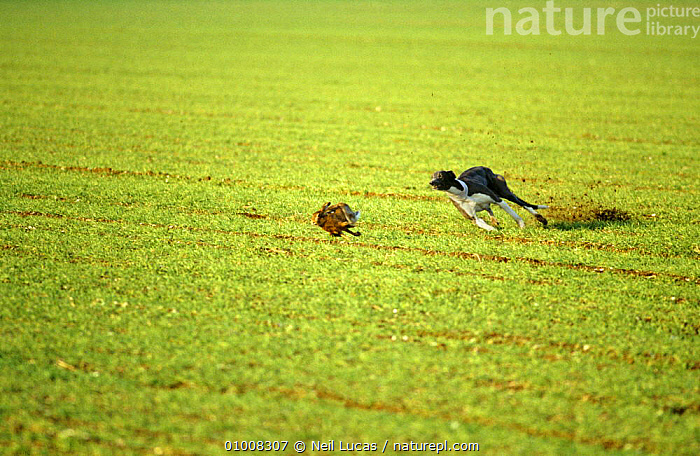 Hunting / hare coursing. Greyhound chasing hare at a meet, 1995 UK  ,  HUNTING,HUNTING SPORT,MAMMALS,RUNNING,UK,Europe,United Kingdom,British  ,  Neil Lucas