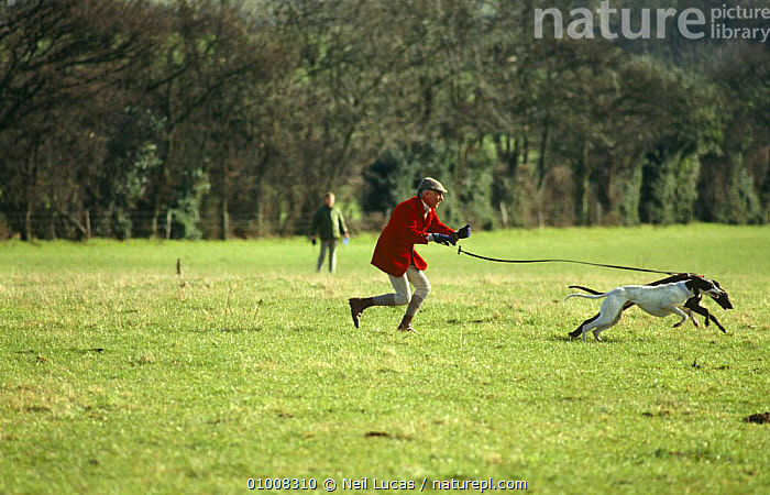 Hunting / hare coursing - Huntsman with Greyhounds at a meet, 1995, UK, HUNTING,HUNTING SPORT,MAMMALS,UK,Europe,United Kingdom,British, Neil Lucas