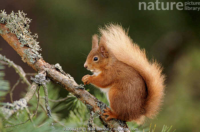 Red squirrel on lichen-covered Scots pine tree, Scotland  ,  PINE,TREE,EUROPE,RODENTS,SCOTLAND,PROFILE,CONIFEROUS,LICHEN,MAMMALS,UK,NB,SCOTS,HORIZONTAL,PORTRAITS,UNITED KINGDOM,BRITISH,GettyBOV  ,  Niall Benvie