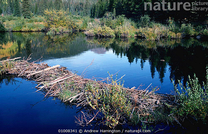 American Beaver's dam. (Castor canadensis) Colorado USA,Rocky Mountain NP  ,  ROCKY,DAM,RODENTS,USA,HOMES,RIVERS,MAMMALS,LANDSCAPES,North America  ,  Andrew Harrington