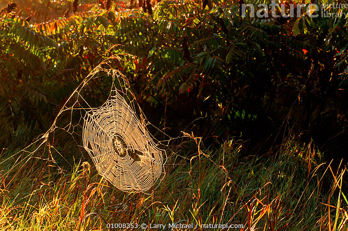 Spider web covered in dew  ,  DEW,HORIZONTAL,INVERTEBRATES,LM,PATTERNS,SUNRISE,WEBS  ,  Larry Michael