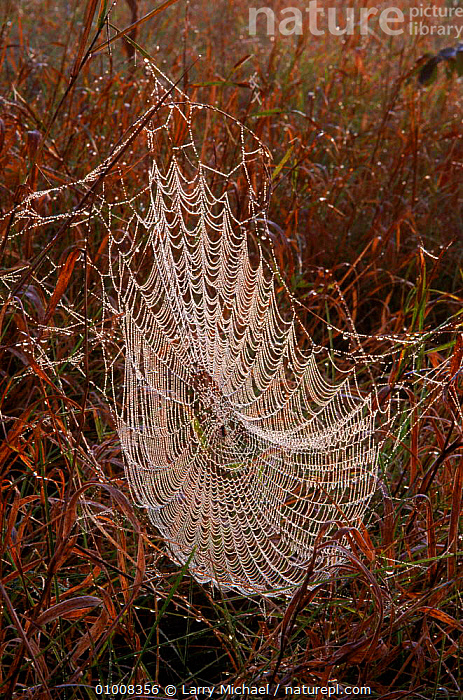Spider web covered in dew, Wisconsin, USA, USA,DEW,VERTICAL,SUNRISE,LM,WEBS,ARTY SHOTS,WISCONSIN,NORTH AMERICA,Invertebrates, Larry Michael
