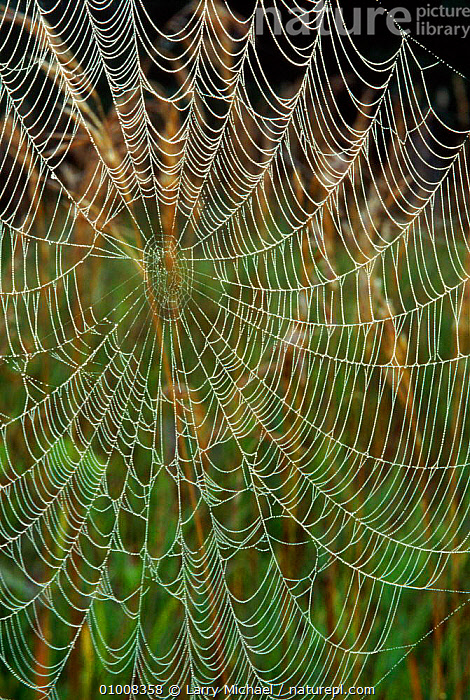 Spider web covered in dew, Wisconsin, USA, PATTERNS,DEW,USA,VERTICAL,ARTY SHOTS,WEBS,LM,WISCONSIN,NORTH AMERICA,Invertebrates, Larry Michael
