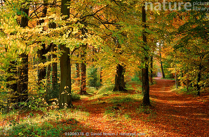 Autumn colours in Long Ridge Woods, Painswick, Cotswolds.  ,  AUTUMN,BEECH,BRITISH,BROADLEAF,COTSWOLDS,DNO,EUROPE,HORIZONTAL,PATH,PLANTS,TREES,UK,UNITED KINGDOM,WOODLANDS,ENGLAND  ,  David Noton