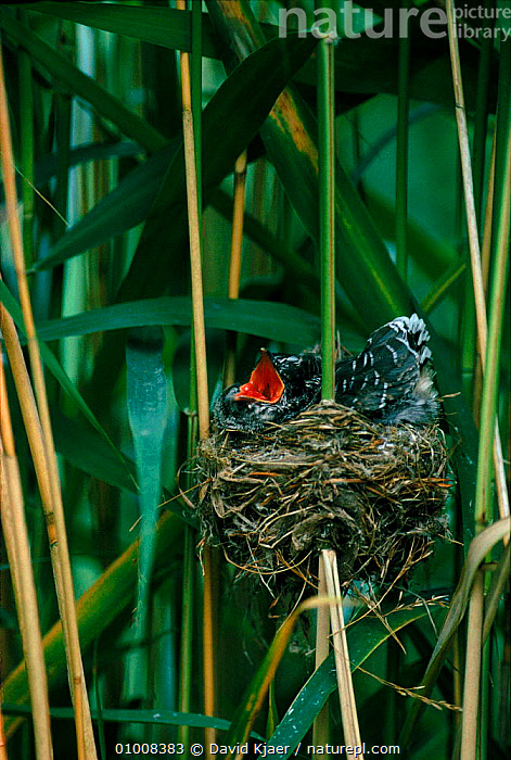 Cuckoo chick in Reed warbler's nest, England, BIRDS,UK,ENGLAND,BABIES,DK,PARASITISM,REED,CHICK,VERTICAL,WARBLER,WETLANDS,EUROPE,NEST,UNITED KINGDOM,BRITISH, David Kjaer