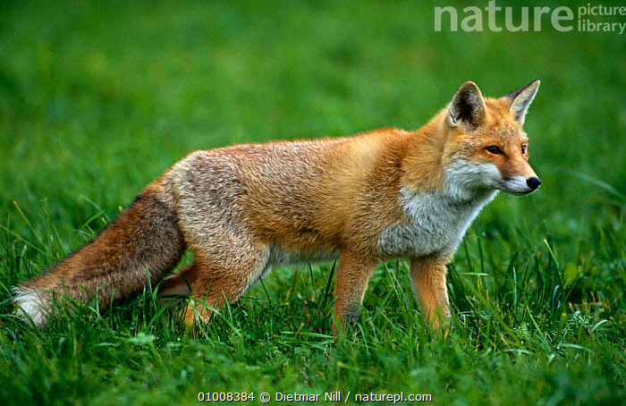 Red Fox {Vulpes vulpes} Germany  ,  CANIDS,CARNIVORES,EUROPE,FOXES,GERMANY,MAMMALS,PORTRAITS,PROFILE,VERTEBRATES,WALKING,Dogs  ,  Dietmar Nill