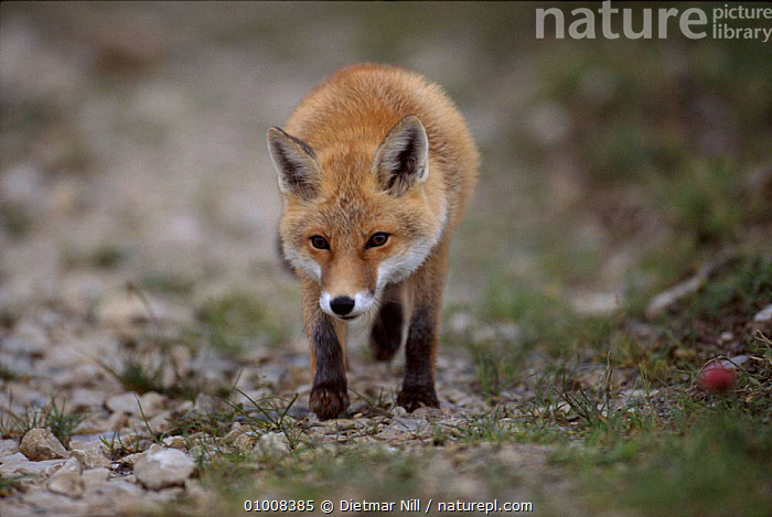 Red Fox walking towards camera. Germany, EUROPE,GERMANY,MAMMALS,BROWN,WALKING,DN,DOGS,CANIDS, Dietmar Nill