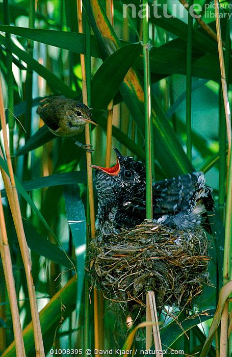 Reed warbler feeding parasitic Cuckoo chick in nest, England, FEEDING,BIRDS,NESTING BEHAVIOUR,WETLANDS,ENGLAND,MIXED SPECIES,PARENTAL,WARBLER,DK,UK,PARASITISM,INTERESTING,EUROPE,VERTICAL,NEST,BABIES,REED,UNITED KINGDOM,REPRODUCTION,BRITISH, David Kjaer
