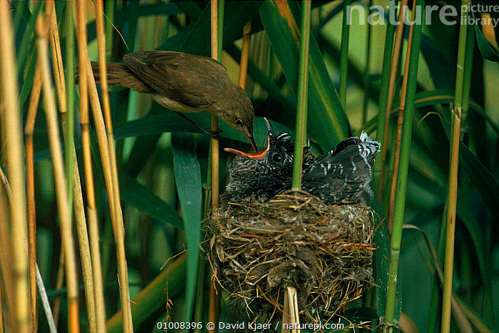 Reed Warbler feeding parasitic Cuckoo chick at nest. England  ,  BABIES,BIRDS,CHICK,DK,ENGLAND,ESSEX,EUROPE,FEEDING,INTERESTING,NEST,PARASITIC,PARASITISM,PARENTAL,REED,UK,WARBLER,WETLANDS,UNITED KINGDOM,BRITISH  ,  David Kjaer
