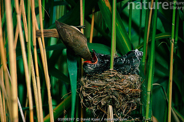 Reed warbler feeding parasitic cuckoo chick at nest, England, HORIZONTAL,WARBLER,INTERESTING,REED,PARASITISM,WETLANDS,EUROPE,BABIES,UK,BIRDS,PARENTAL,NEST,CHICK,DK,ENGLAND,FEEDING,UNITED KINGDOM,BRITISH, David Kjaer