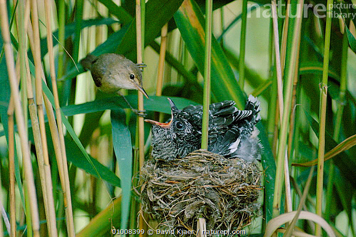 Reed Warbler feeding parasitic cuckoo chick in its nest. England  (Cuculus canorus), BABIES,BIRDS,BRITISH,CUCKOOS,DK,ENGLAND,ESSEX,FEEDING,HUNGRY,IMPOSTER,INTERESTING,NEST,PARASITE,PARASITIC,PARASITISM,PARENTAL,WETLANDS,WILDLIFE,EUROPE,CONCEPTS, David Kjaer