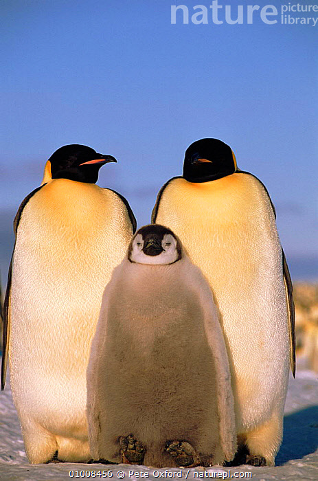 Emperor penguins with chick (Aptenodytes forsteri). Atka Bay, Weddell Sea, Antarctica, CHICK,HUMOROUS,SEABIRDS,ATKA,SEA,THREE,OUTSTANDING,FAMILIES,ATMOSPHERIC,BAY,FLIGHTLESS,ANTARCTICA,WEDDELL,BIRDS,VERTICAL,CONCEPTS,PENGUINS, Seabirds, Pete Oxford