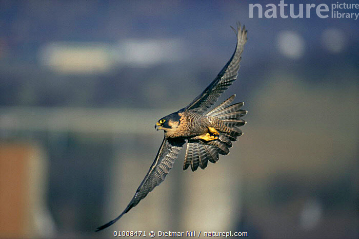 Peregrine Falcon {Falco Peregrinus} in flight, Germany., BIRDS,BIRDS OF PREY,EUROPE,FALCONS,FLYING,GERMANY,URBAN,VERTEBRATES,WINGS, Dietmar Nill