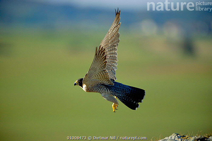 Peregrine Falcon taking off in flight (Falco peregrinus) Germany  ,  ,BIRDS,DN,EUROPE,FALCONS,FLYING,GERMANY,ONE,RAPTOR,WINGS ,BIRDS OF PREY  ,  Dietmar Nill
