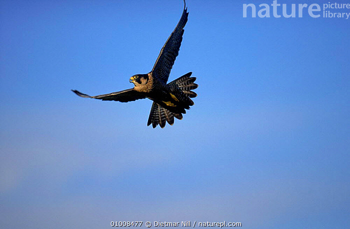 Peregrine falcon in flight, Germany  ,  EUROPE,VERTICAL,WINGS,HORIZONTAL,BIRDS,FLYING,DN,GERMANY, ,BIRDS OF PREY  ,  Dietmar Nill