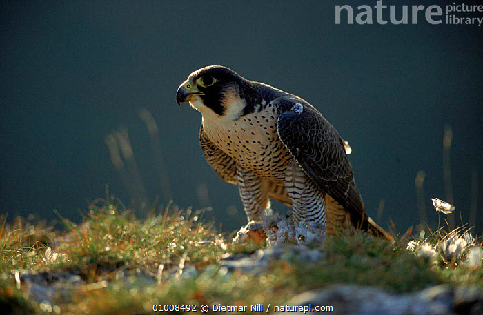 Peregrine Falcon feeding, Germany, EUROPE,PREDATION,BIRDS,FEEDING,GERMANY,DN,HORIZONTAL, ,BIRDS OF PREY,BEHAVIOUR, Dietmar Nill