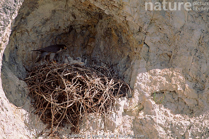 Peregrine Falcon at nest, Germany  ,  GERMANY,NESTING BEHAVIOUR,,DN,NEST,HORIZONTAL,BIRDS,EUROPE ,BIRDS OF PREY,REPRODUCTION  ,  Dietmar Nill