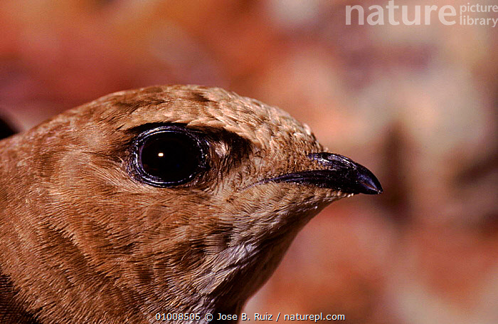 Common Swift head portrait, Spain  ,  EUROPE,HEADS,PROFILE,BIRDS,BEAK,RR,SPAIN,HORIZONTAL,EYES,CLOSE UPS  ,  Jose B. Ruiz