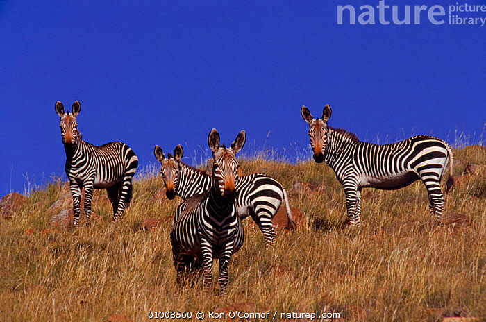 Mountain Zebra  (Equus zebra) Mt Zebra NP South Africa, FOUR,SOUTHERN AFRICA,GROUPS,HERD,PERISSODACTYLA,RO,MT,STRIPES,ZEBRA,SOUTH,ZEBRAS,MAMMALS,NP,GRASSLAND,HIGHLANDS,AFRICA,NATIONAL PARK,EQUINES, Ron O'Connor