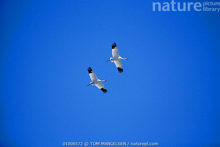 Whooping Cranes in flight. (Grus americana) Texas USA Aransas National Wildlife Refuge, BIRDS,CANADA,FLIGHT,FLYING,SKY,TWO,North America, TOM MANGELSEN
