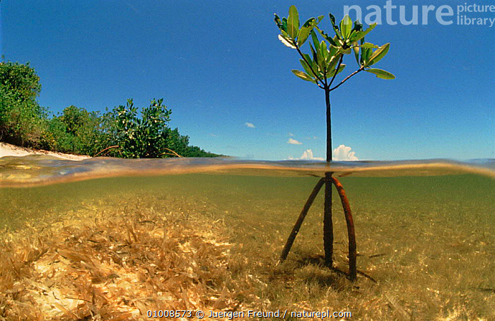 Young Mangrove tree sapling split-level shot, Caribbean, CARIBBEAN,COASTS,JFR,MANGROVES,MARINE,PLANTS,PORTRAITS,ROOTS,SAPLING,SEA,SPLIT LEVEL,TREES,YOUNG,West Indies, Jurgen Freund