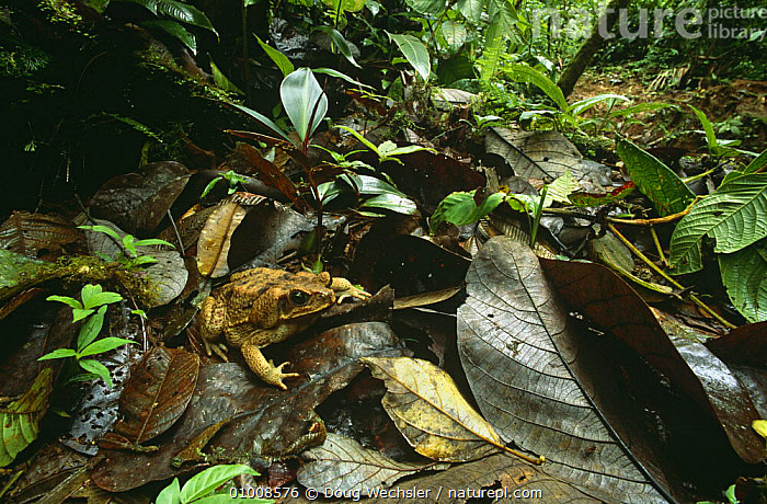 Giant toad (Bufo marinus) on leaf litter in tropical rainforest, Guanacaste NP, Costa Rica  ,  , AMPHIBIANS, Anura, CAMOUFLAGE, CENTRAL-AMERICA, ground, HABITAT, LEAVES, NP, TOADS, TROPICAL, TROPICAL-RAINFOREST, VERTEBRATES,National Park  ,  Doug Wechsler