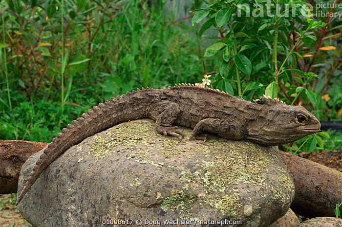 Tuatara (Sphenodon punctatus) New Zealand  ,  DWE,ENDEMIC,PORTRAITS,NEW ZEALAND,HORIZONTAL,NEW,REPTILES,ENDANGERED,ZEALAND, TUATARAS  ,  Doug Wechsler