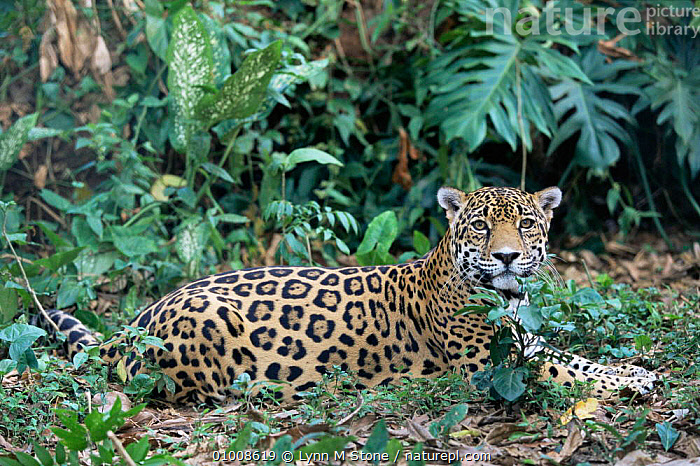 Jaguar (Panthera onca) Belize captive  ,  BIG CATS,CARNIVORES,CATS,CENTRAL AMERICA,JAGUARS,MAMMALS,TROPICAL RAINFOREST,VERTEBRATES  ,  Lynn M Stone