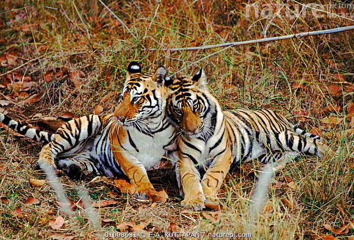 Tiger mother with cub, Bandhavgarh NP, India, CARNIVORES,CUTE,AFFECTIONATE,HORIZONTAL,INDIA,NP,TWO,MAMMALS,BIG,MOTHER,INDIAN SUBCONTINENT,KU,BANDHAVGARH,CATS,FAMILIES,ASIA,CONCEPTS,NATIONAL PARK,TIGERS,BIG CATS, E.A. KUTTAPAN